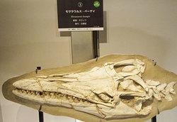モササウルスの頭蓋骨化石